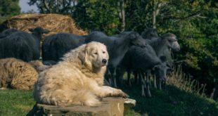Maremmano Abruzzese – interessante Fakten über die Maremmanen Hirtenhunde, Maremmaner Hirtenhund