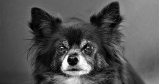 Hund ist herzkrank Mitralklappeninsuffizenz