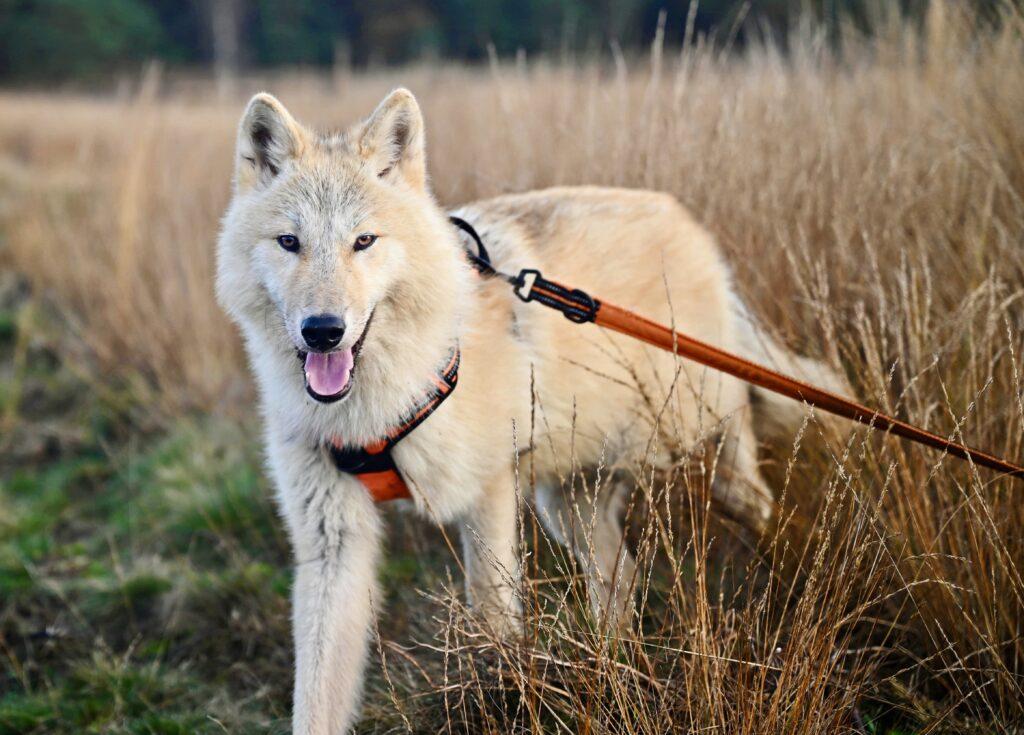 Wolfshund mit Rollleine